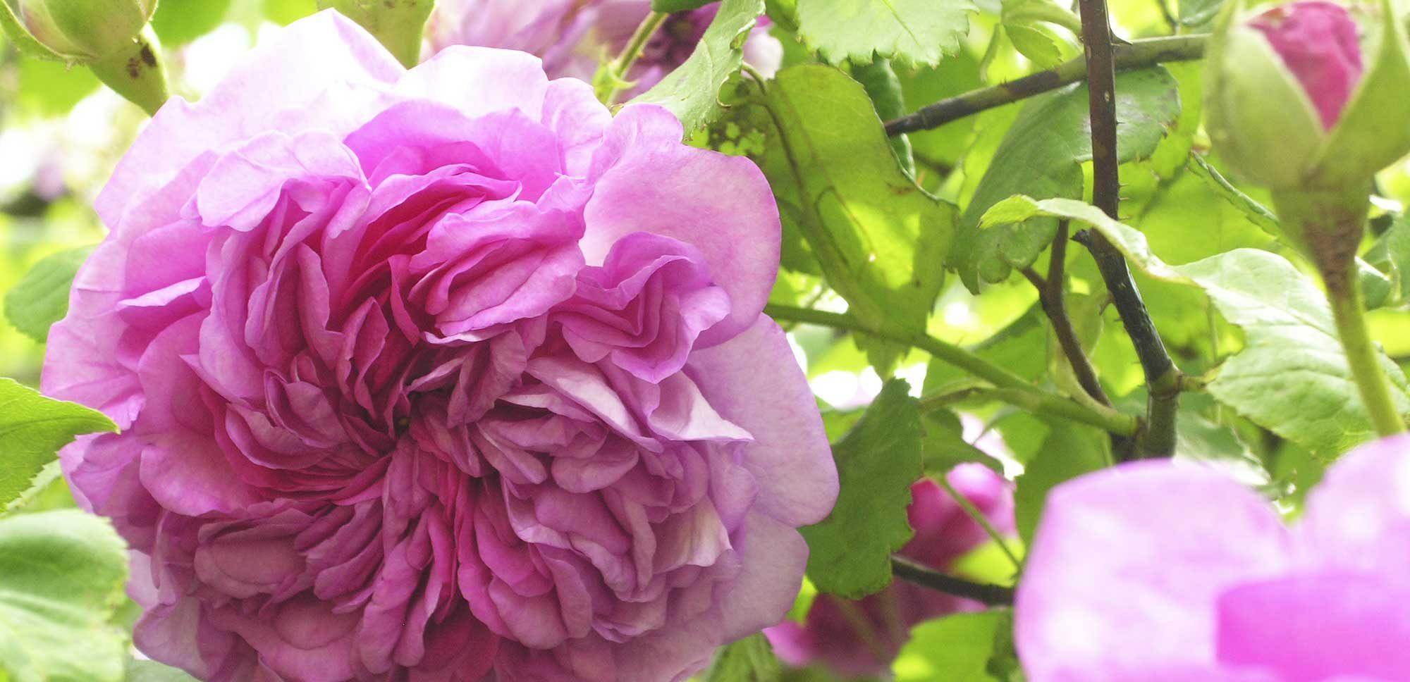 Eine wunderschöne englische Rose in in pinken Farbtönen