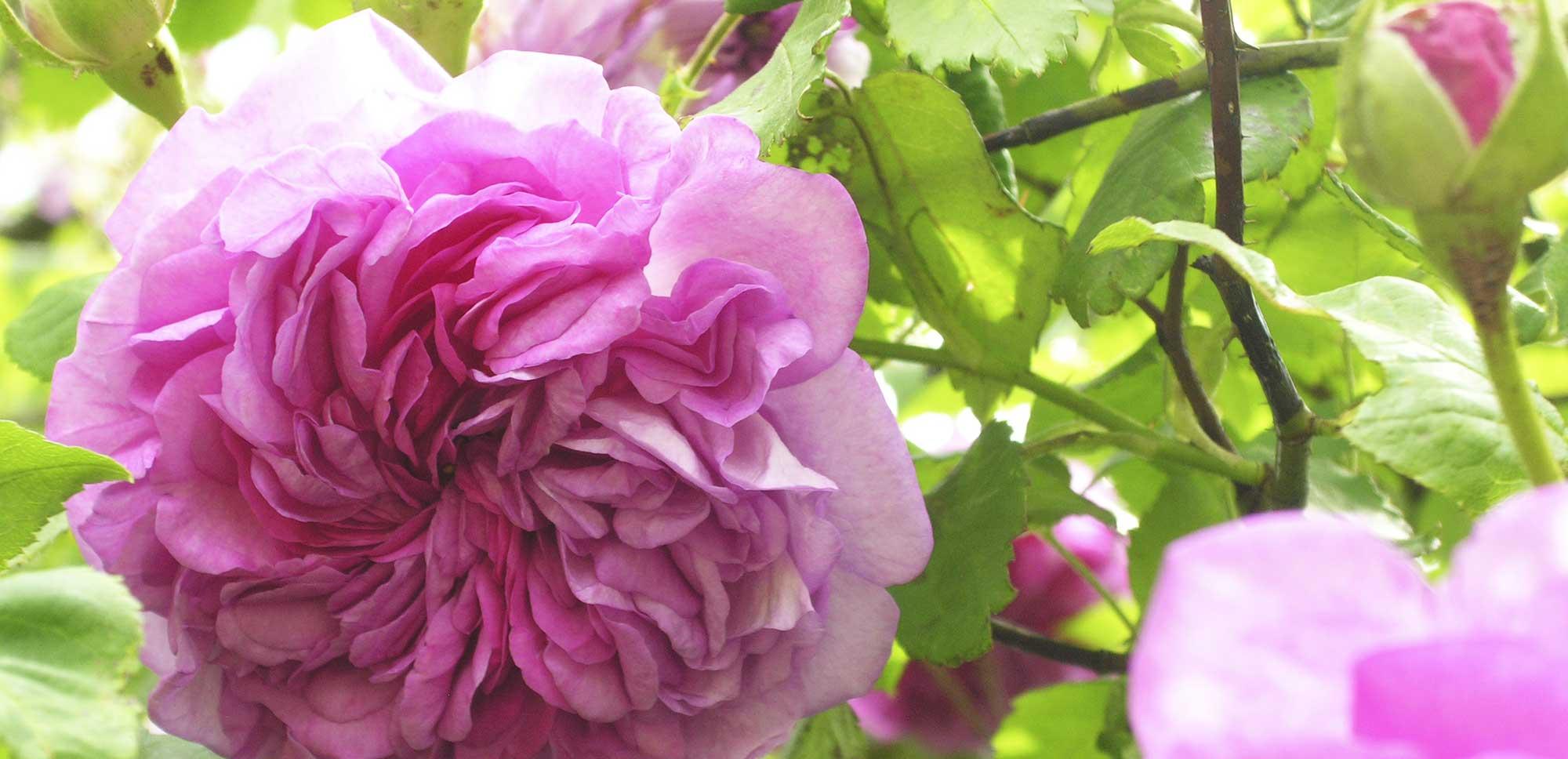 rosen schneiden im fr hjahr wird es zeit f r die rosenpflege. Black Bedroom Furniture Sets. Home Design Ideas