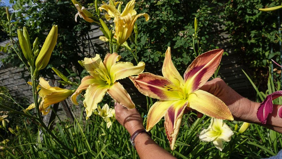 Taglilien - Schönheiten