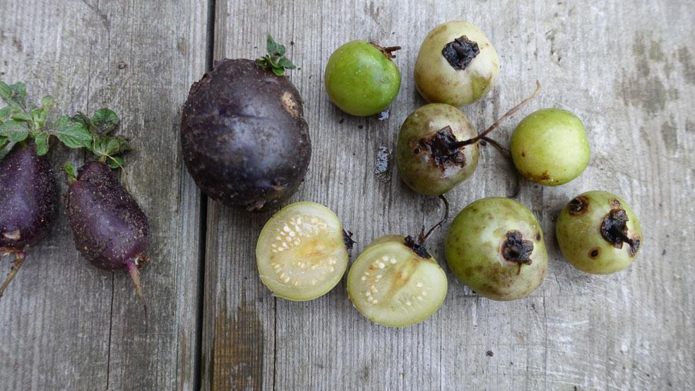 Kartoffel, Vermehrung