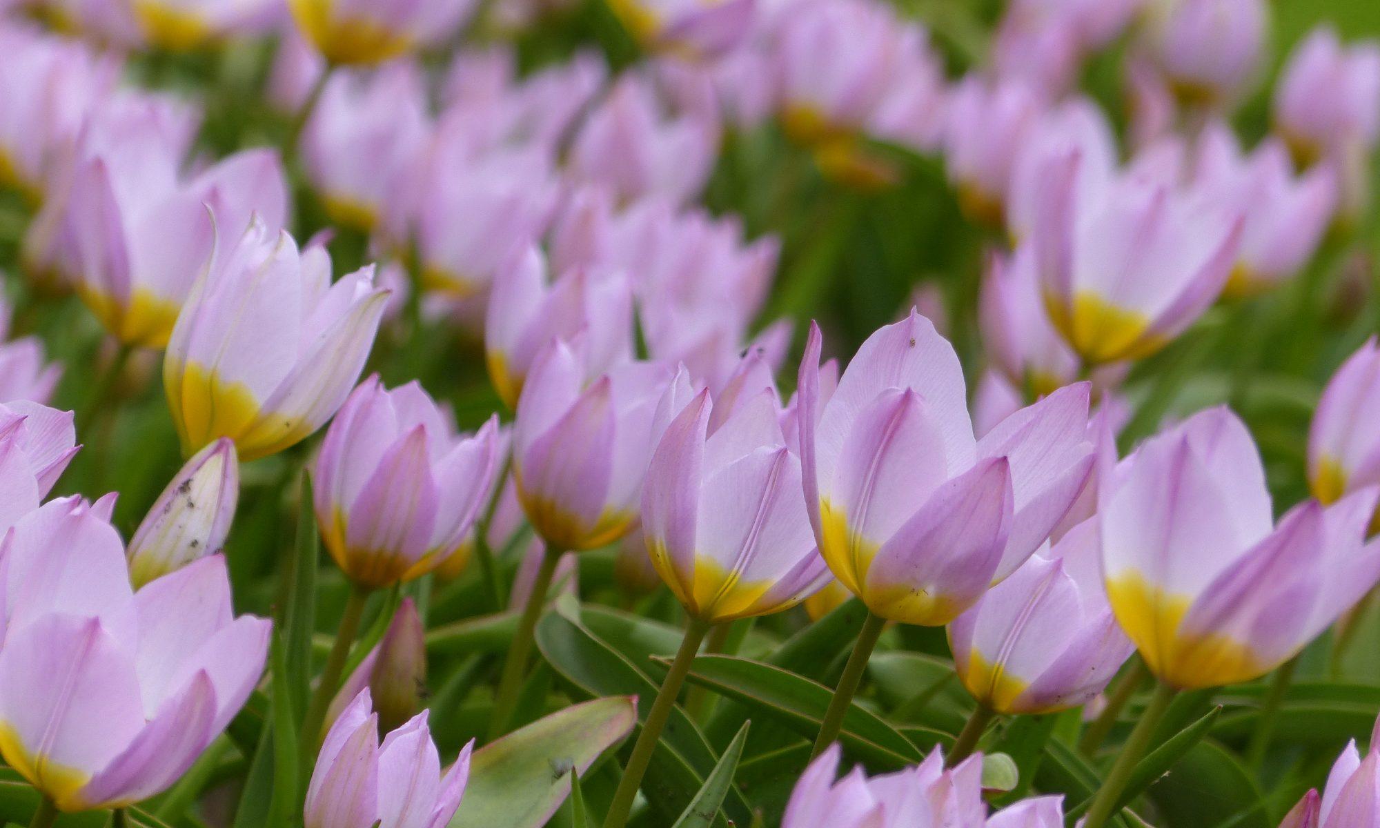 Wildtulpe Lilac Wonder