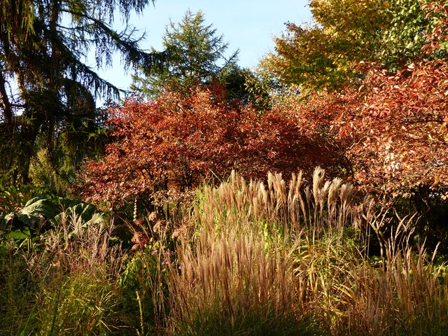 tolle Herbstfärbung bei den Felsenbirnen