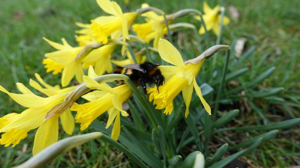 Narcissus asturien sis