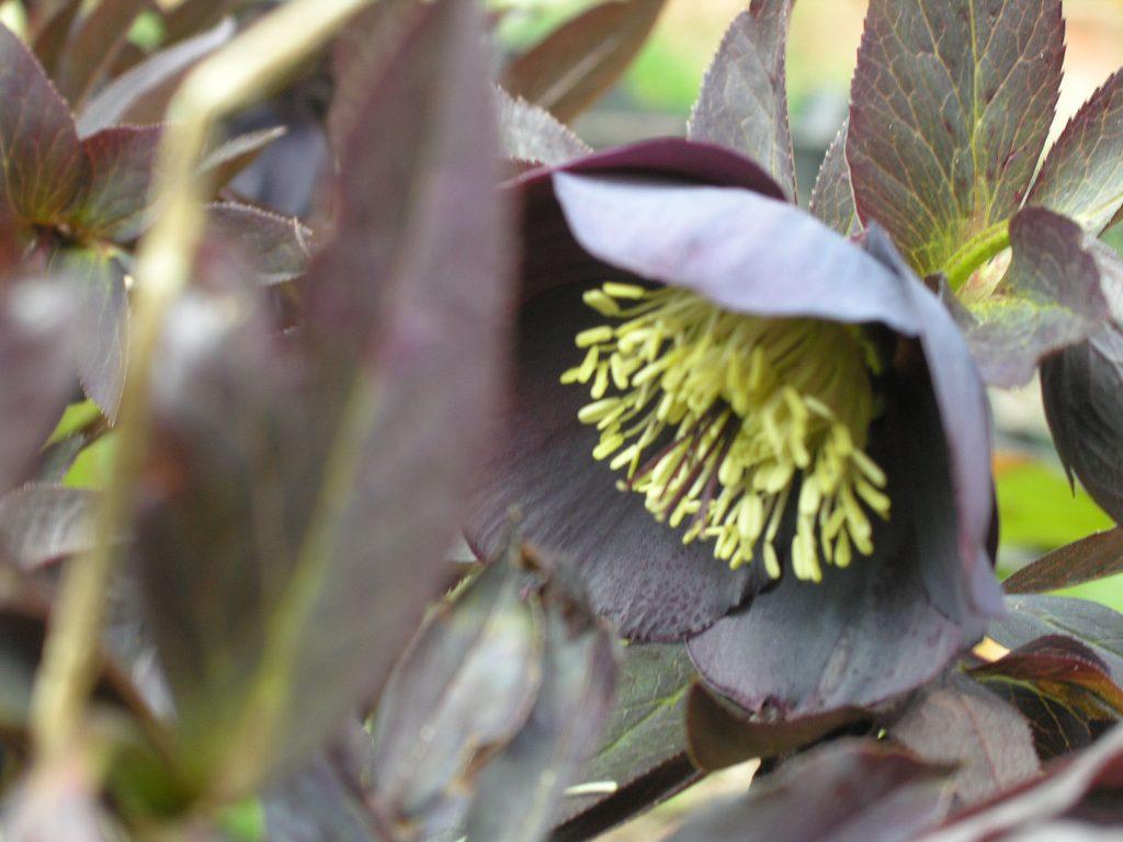 Helleborus or.