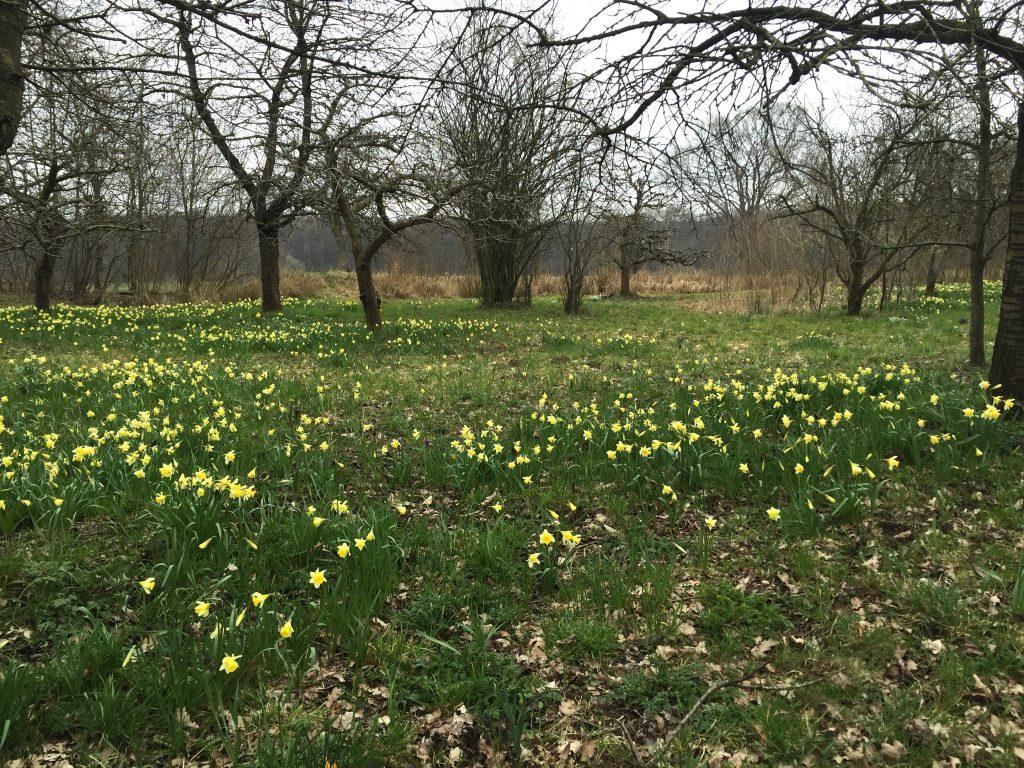 Narcissus obvallaris