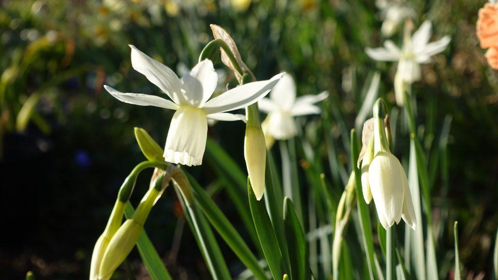 Narcissus tr. Thalia