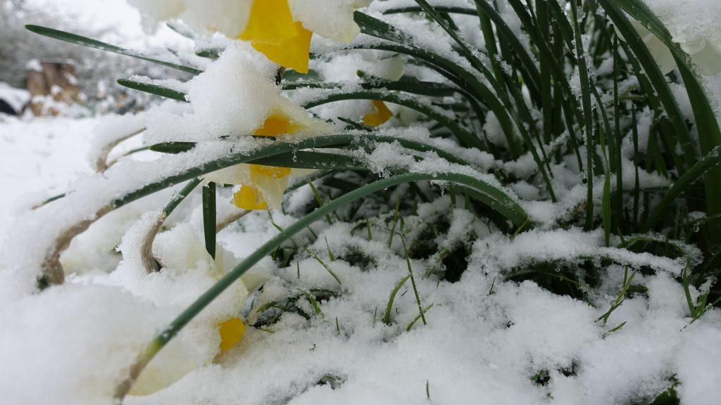 Narcissus Golden Echo