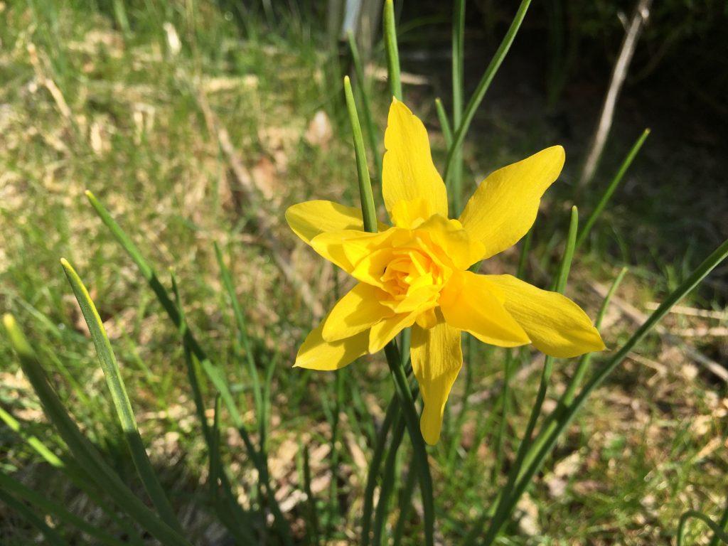 Narcissus campernelli Plenus