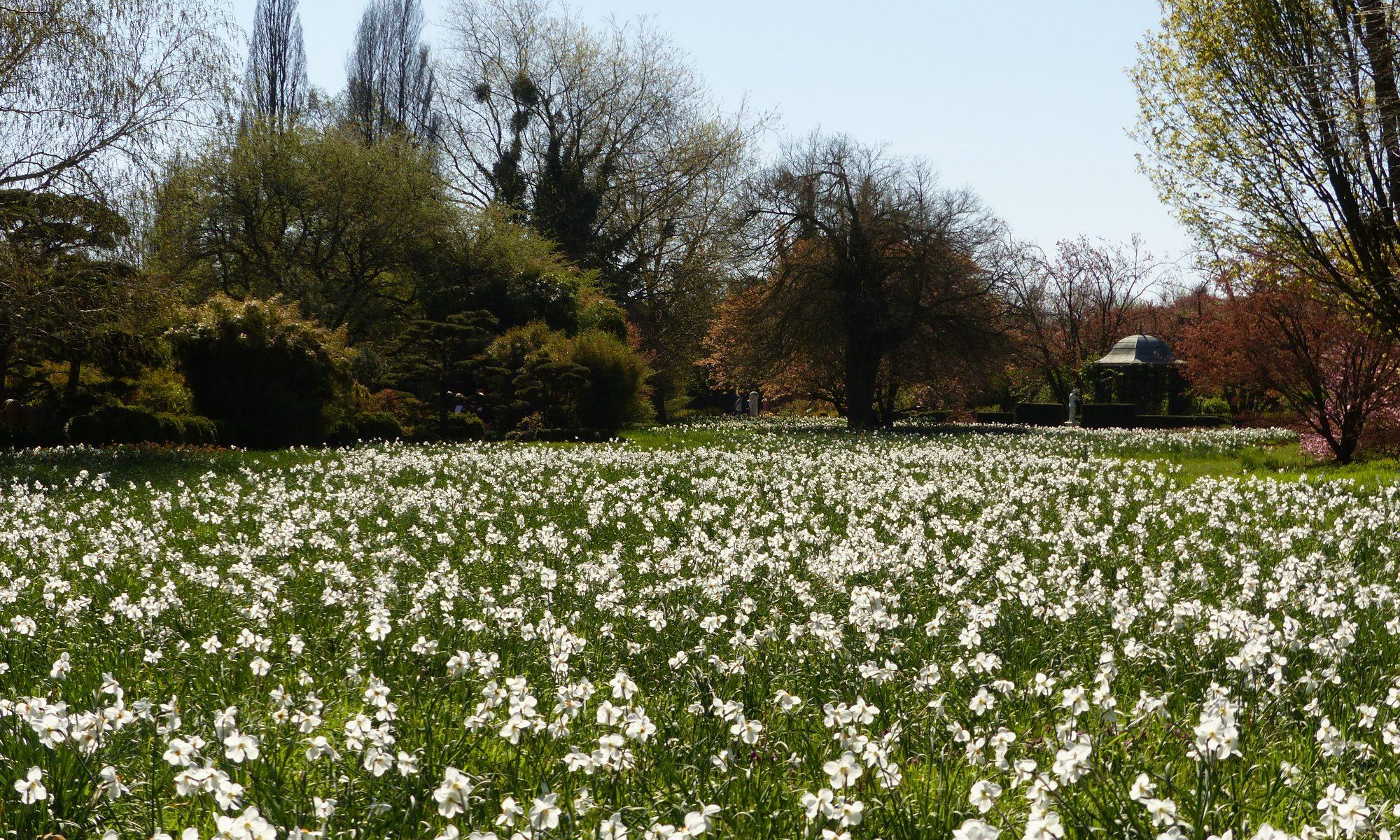 Narfissenblüte im Arboretum