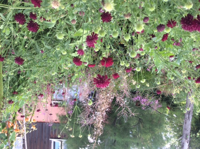 Weidenröschen mit Witwenblume