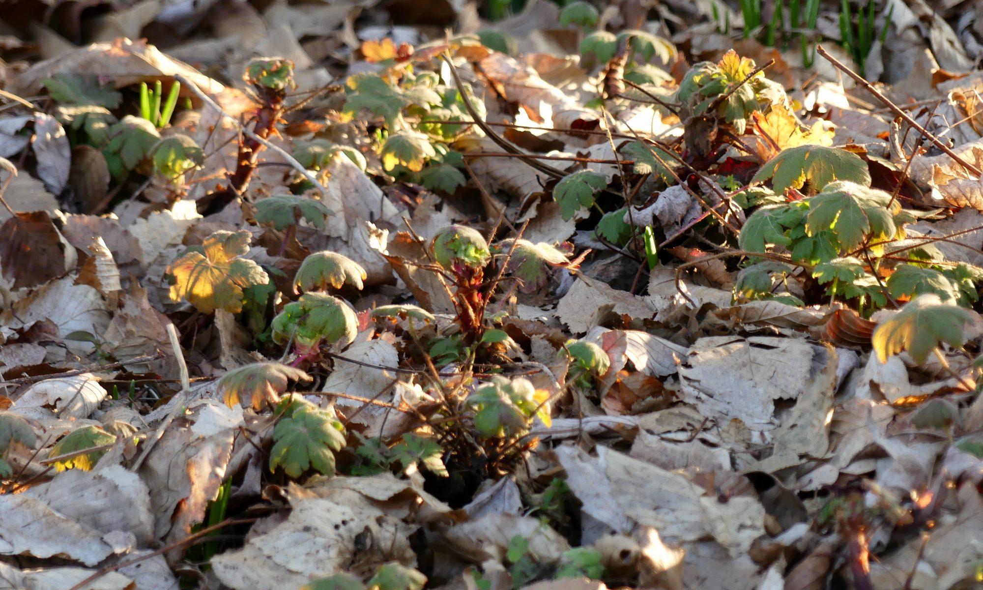 Geranium Spessart im Laub
